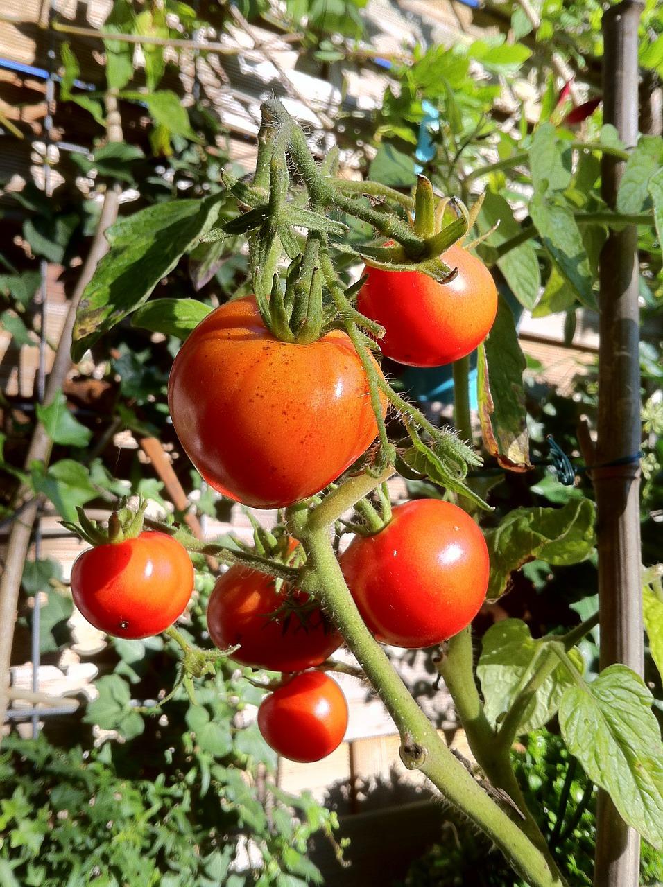 Come coltivare i pomodori coltivazione for Piantare pomodori