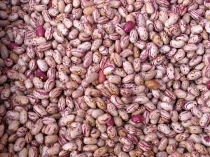 coltivazione fagioli