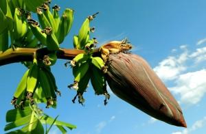 coltivazione banano