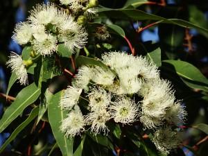 coltivazione eucalipto