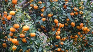 coltivazione mandarino