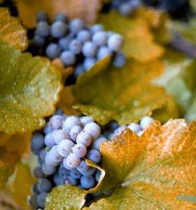 come coltivare uva fragola