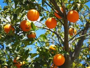 coltivazione aranci