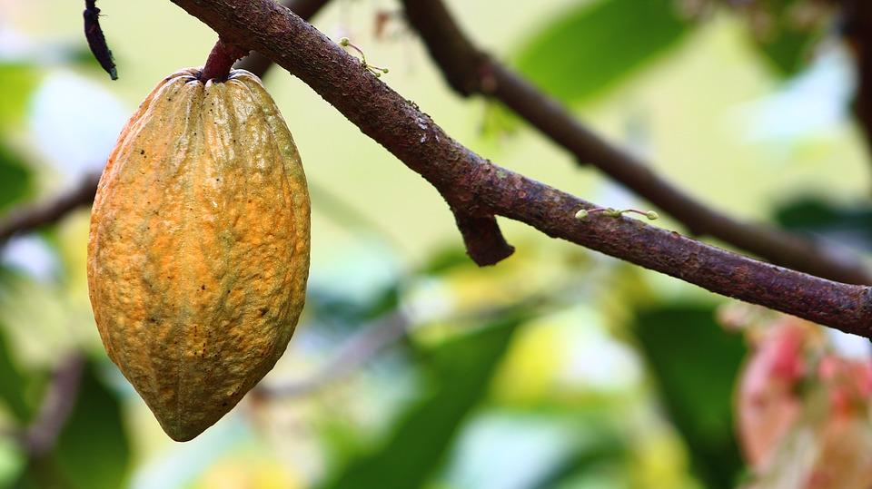 Come Coltivare Il Cacao Coltivazione