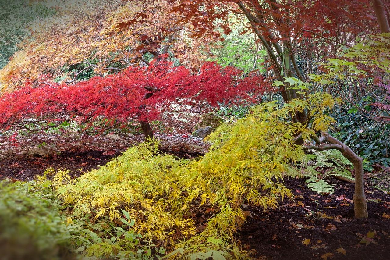 Acero Giapponese Verde acero giapponese - coltivazione, esposizione e potatura